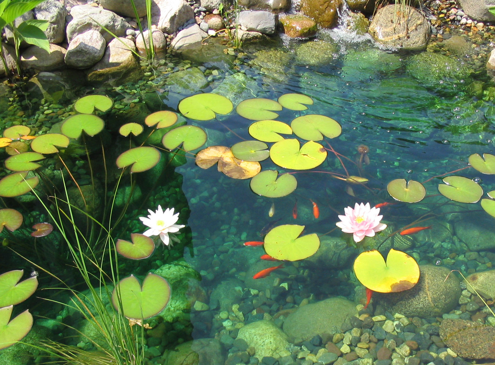 Sparkling lake on pinterest painted turtles mac for Koi fish environment